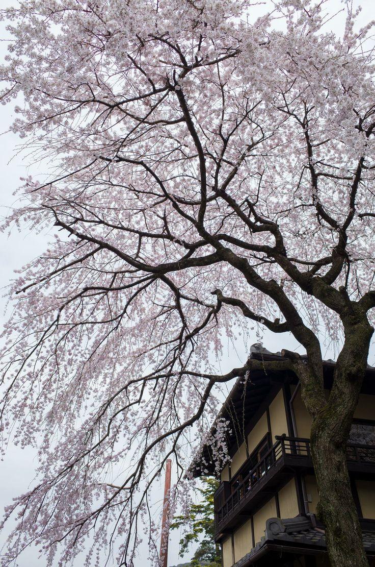 【あなたの知らない京都】Re:京都の桜がキレイなんて迷信だよ?