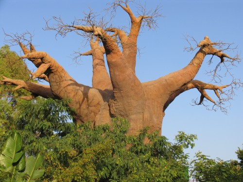 baobabtree0629