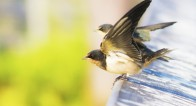 【4月10日から14日】幸せを呼ぶ鳥「つばめ」といっしょに春の空を眺めましょう