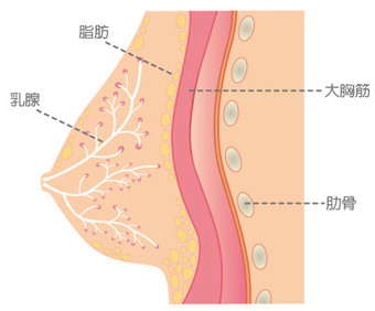 クーパー靭帯と大胸筋
