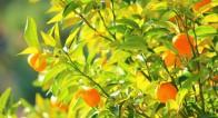 縁起物!橘に秘められたパワーとは?【12月2〜6日】