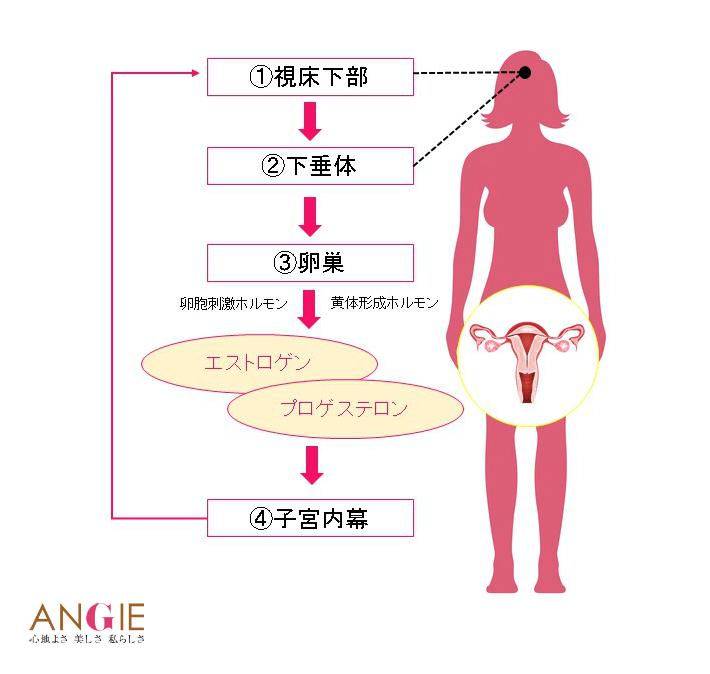 女性ホルモンの流れイメージ